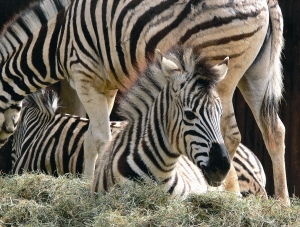 Zebras im Krefelder Zoo. Foto: Zoo Krefeld
