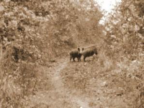 Wildschweine auf der Jogging-Route.   Foto: Rainer Neubert/Trierischer Volksfreund
