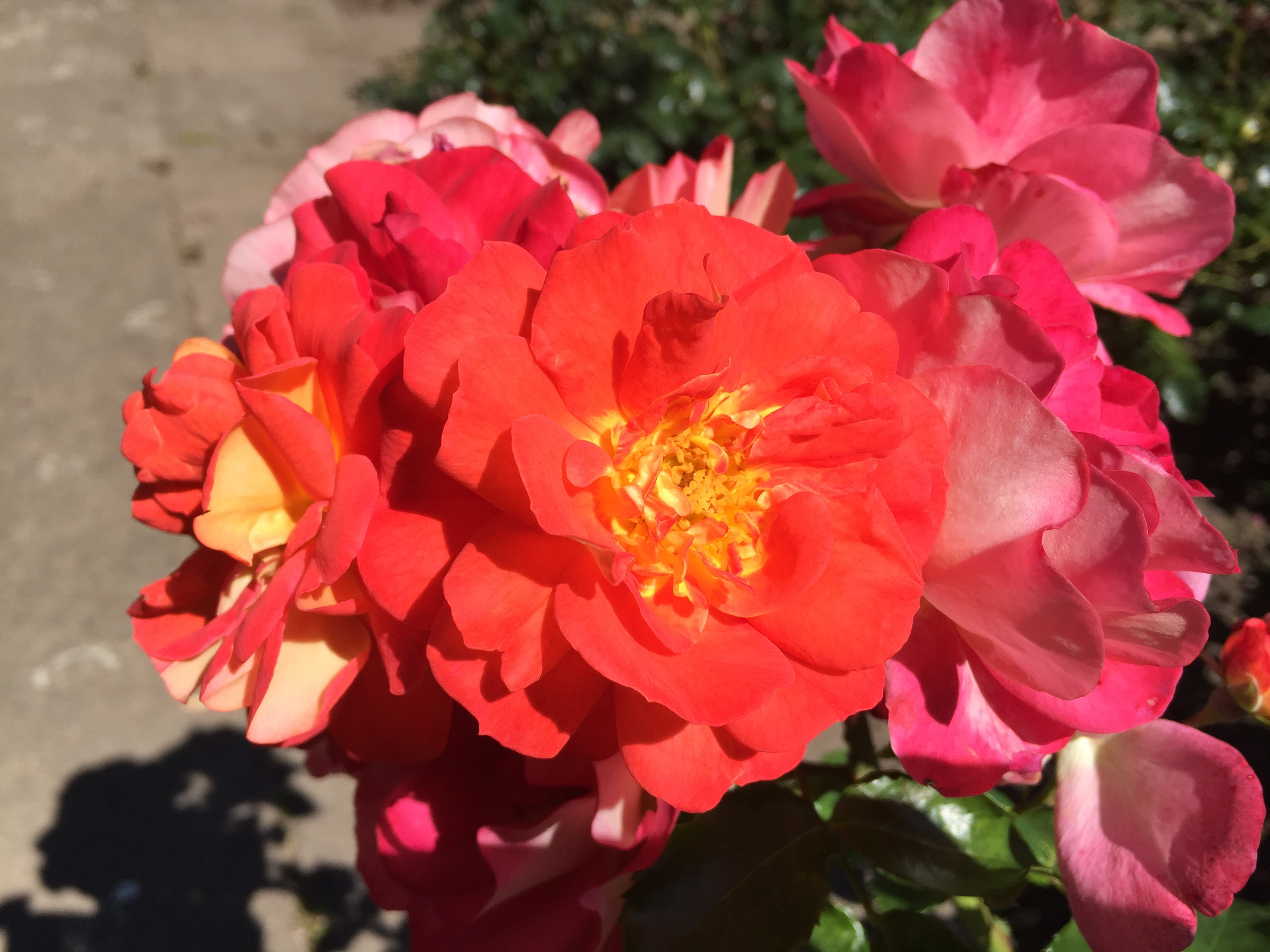 Rose Botanischer Garten